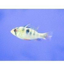 Ramirezi Azul - Microgeophagus Ramirezi