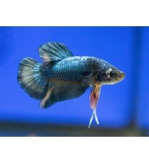 Betta Macho Plakat Tonos Azules Marinos - Betta Splenders